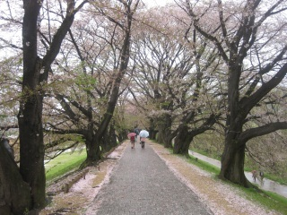 背割り桜1.JPG
