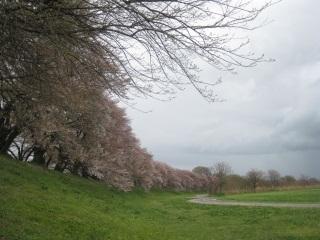 背割り桜2.JPG