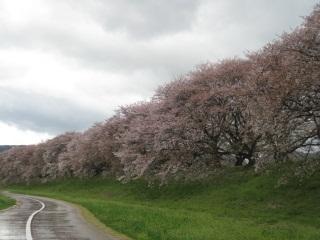 背割り桜3.JPG